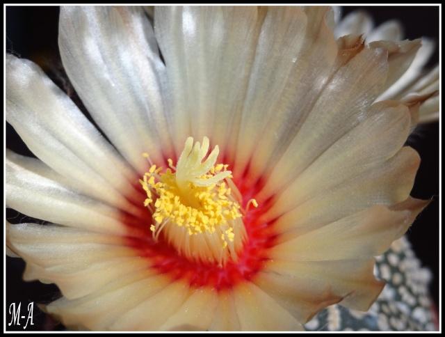 fleurs d'Astrophytum Dsc09912