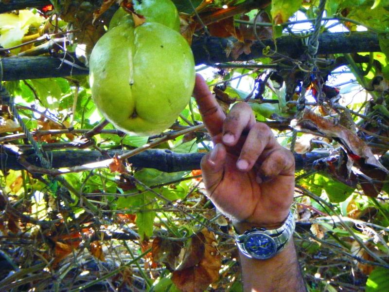passiflora quadrangularis Passif10