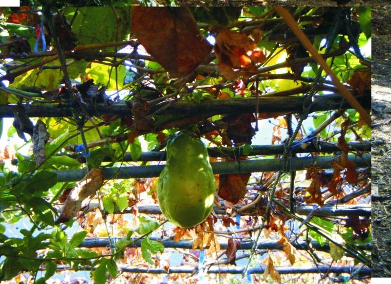 passiflora quadrangularis Passif11
