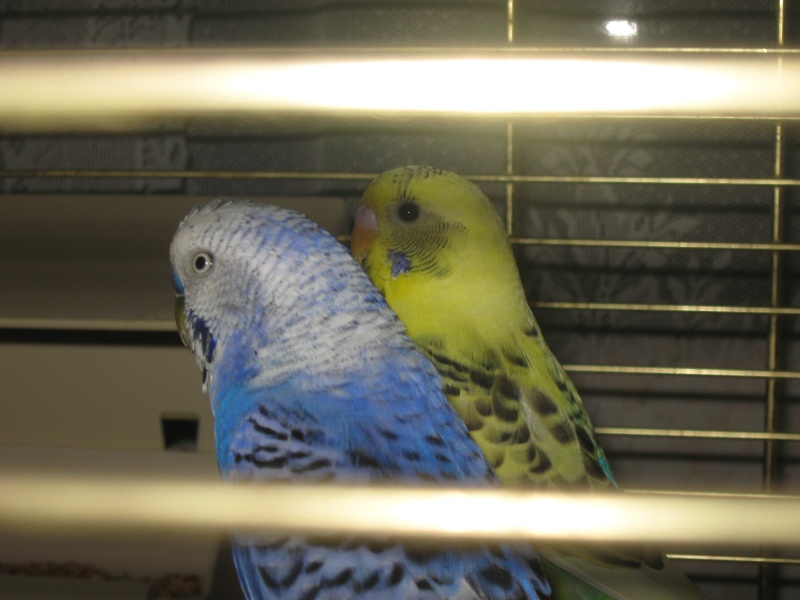 mes perruches Img_0911