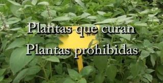 Plantas que curan, plantas prohibidas Planta14