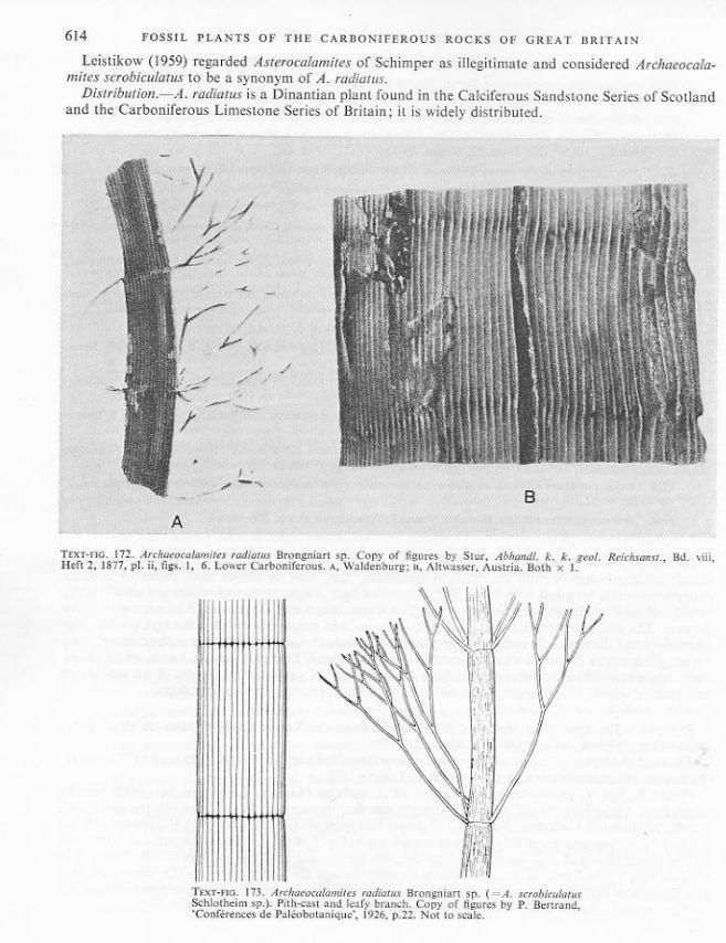 Calamites Schlotheim ,1820.  Annularia sternberg , 1822 .  - Page 3 Archae10