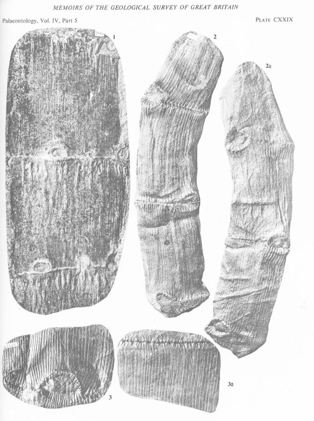 Calamites Schlotheim ,1820.  Annularia sternberg , 1822 .  - Page 3 C_cari10