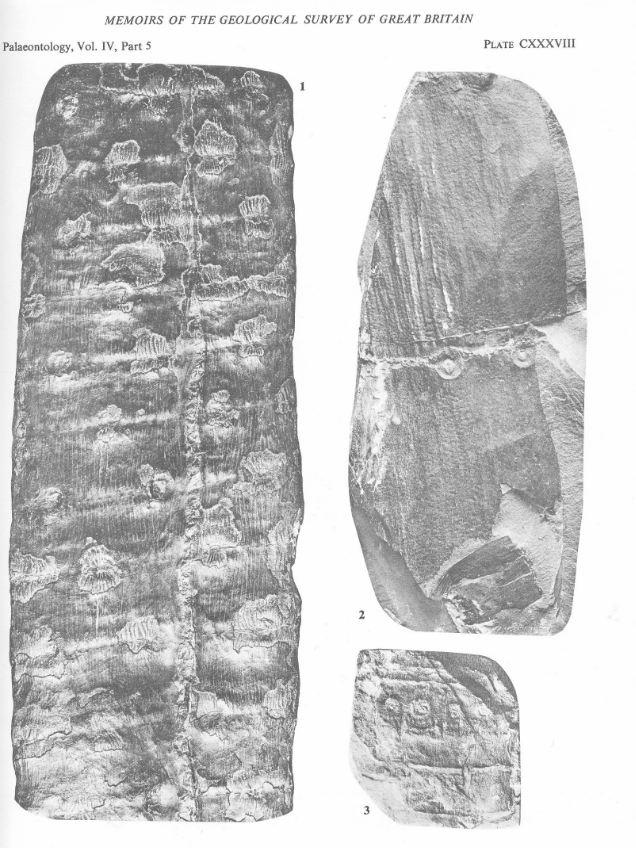 Calamites Schlotheim ,1820.  Annularia sternberg , 1822 .  - Page 3 C_semi10