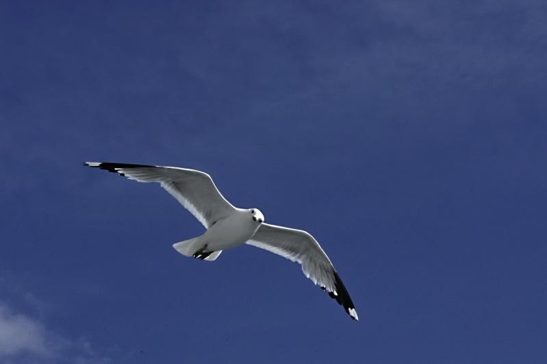 Oiseaux des mers _dsc3810