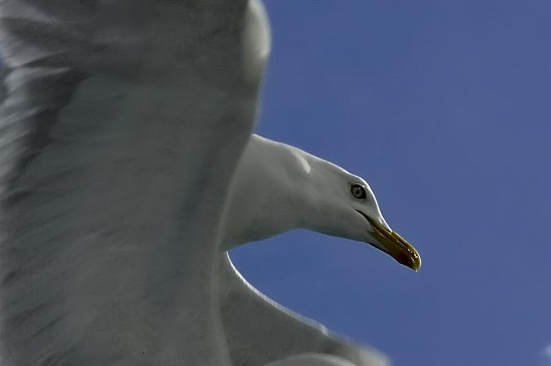 Oiseaux des mers _dsc3811