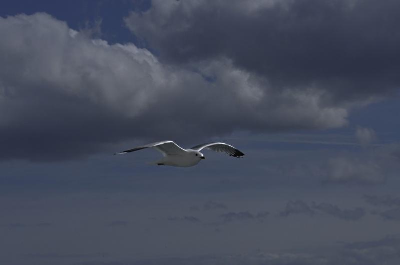 Oiseaux des mers _dsc3813