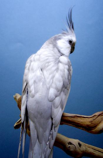 LA CALOPSITE Silver10