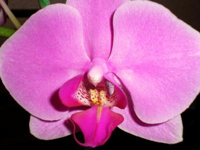 Nouvelle passion - Page 3 Orchid10