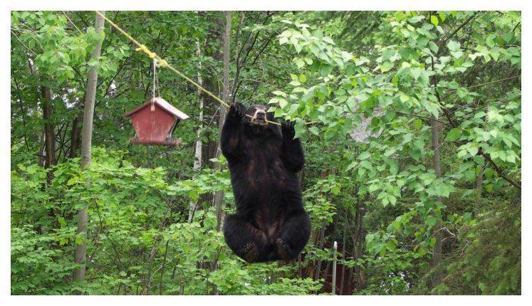 Bears are pretty cool Bear_o11