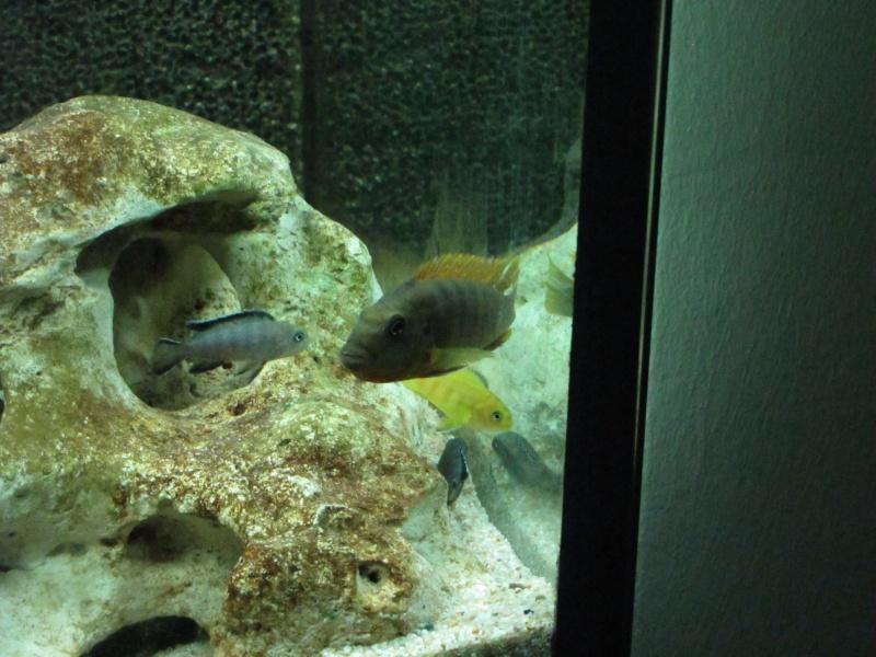 Reproduction labidochromis hongi red top Img_2741