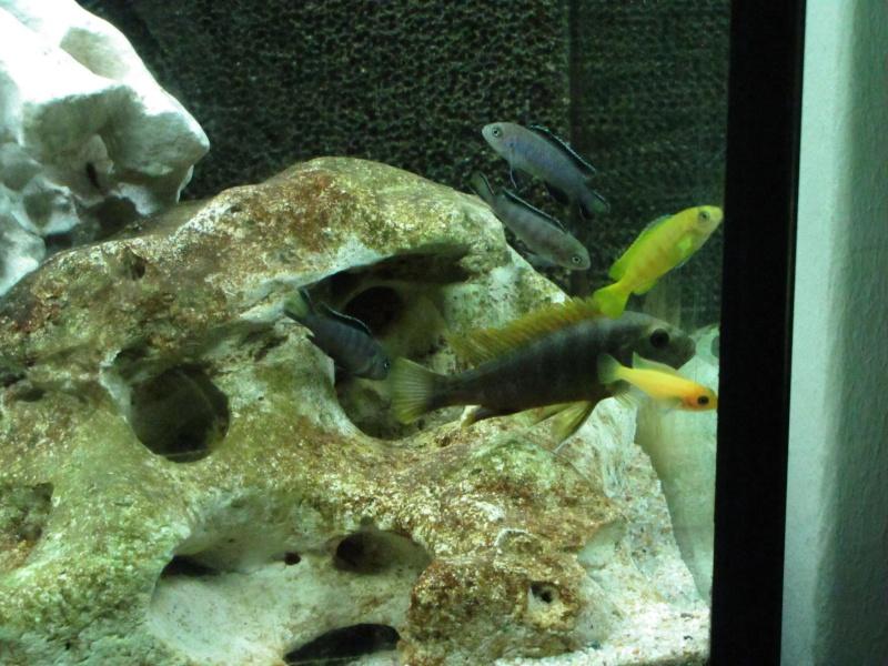 Reproduction labidochromis hongi red top Img_2743