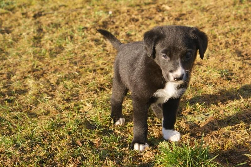 Gaia Chiot Femelle Poils Courts Border Collie X Labradorreservee