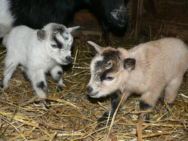 Mes chèvres bêlent pamal fort!! Chavre14
