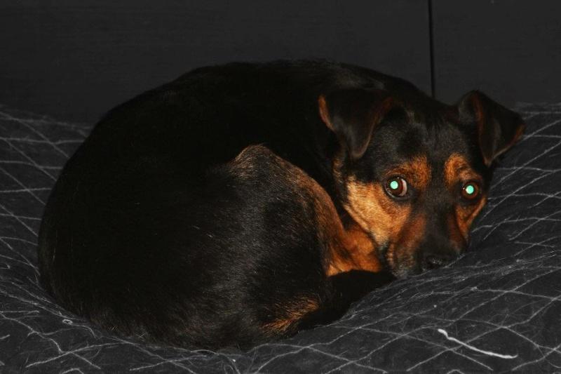 Adoption Bilbo x pinscher . 16690210