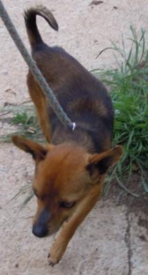 Adoption Mousse pinscher mâle 4 ans (30) 20120410