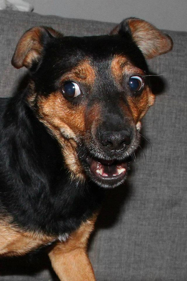Adoption Bilbo x pinscher . 42642910