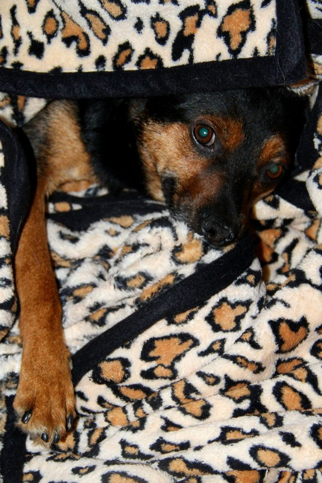 Adoption Bilbo x pinscher . 54584310