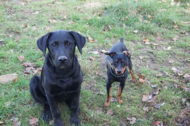 Max, 8 mois, pinscher N&F (85) 99342010