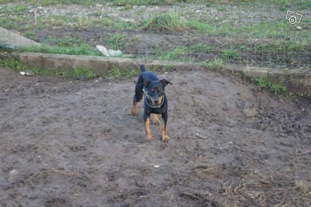 Max, 8 mois, pinscher N&F (85) 99380010