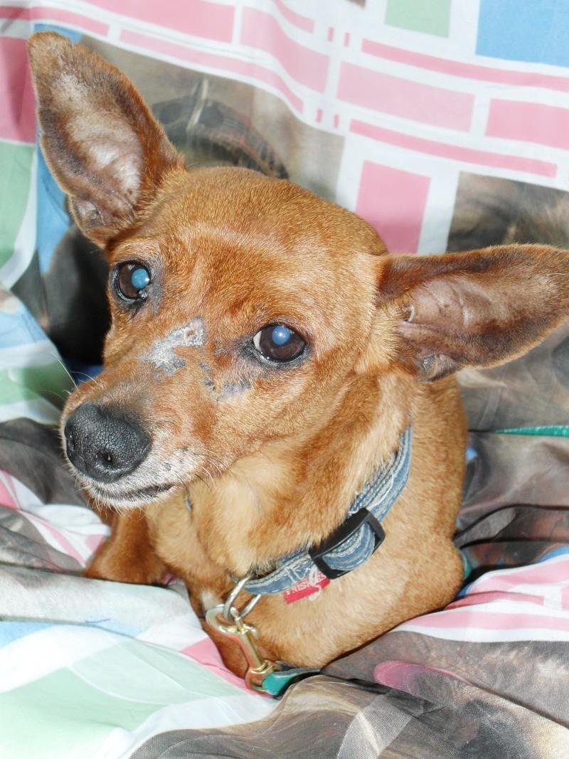 BRINDILLE-mamie-pinscher-10-ans-à adopter Brindi11