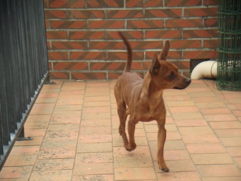 Finch, 11 mois, pinscher mâle fauve, 49 Dscf3411
