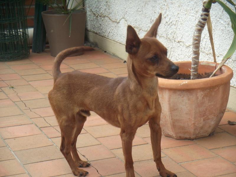 Finch, 11 mois, pinscher mâle fauve, 49 Dscf3414