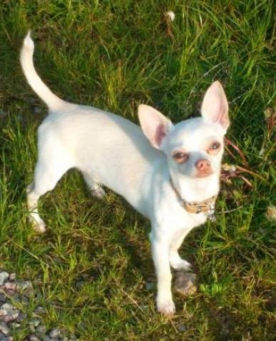 Donne Chihuahua Mâle de 8 mois ! (35) Zozo10