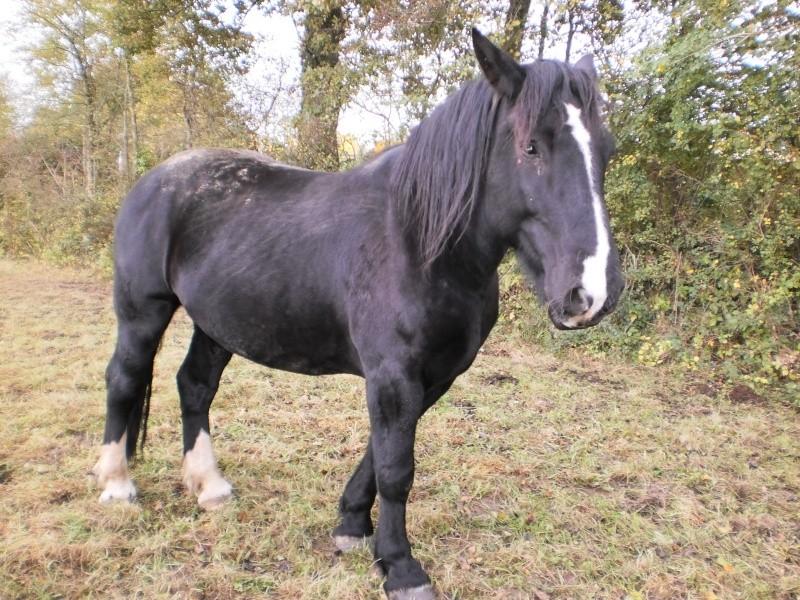 OSCAR - Cheval de Trait Cob x Percheron né en 2002 - adopté par Joël en juin 2009 Pa200110