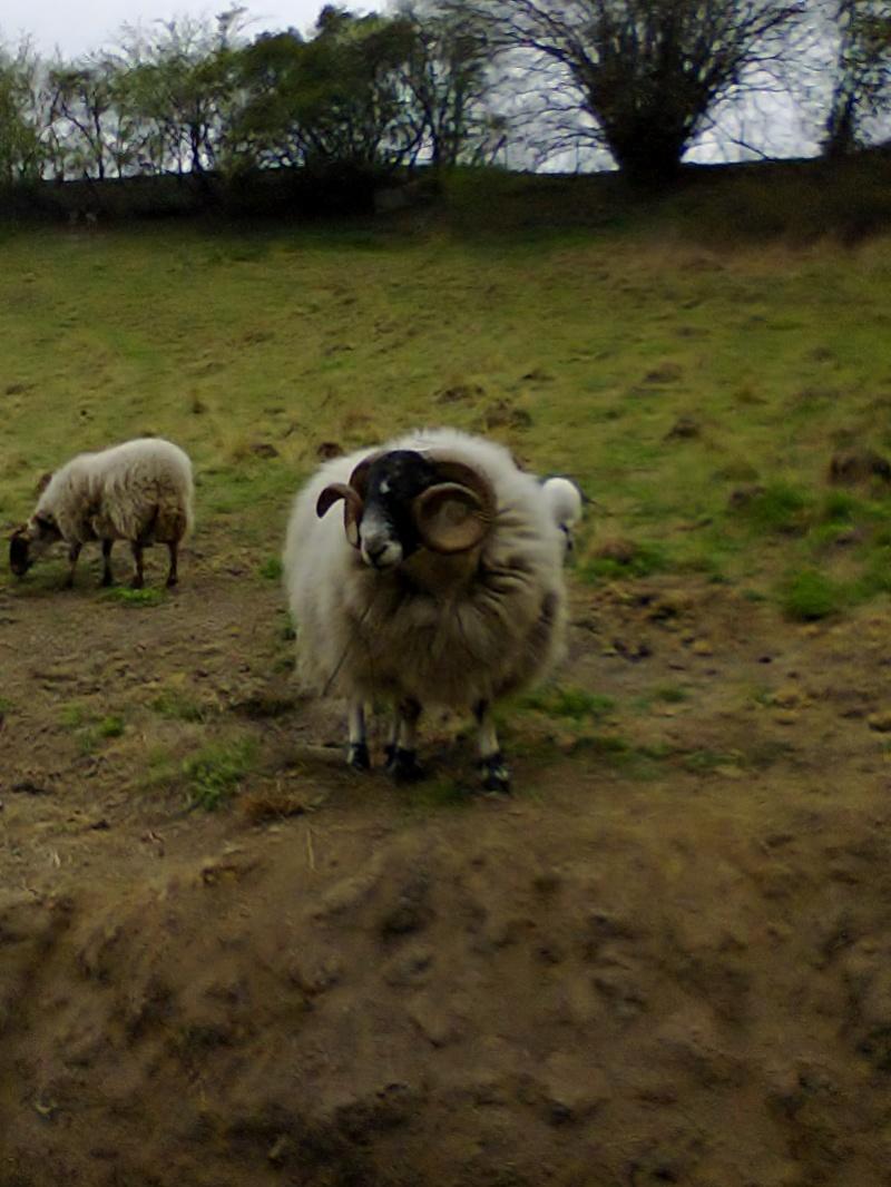 2 agneaux blackfaces Photo012