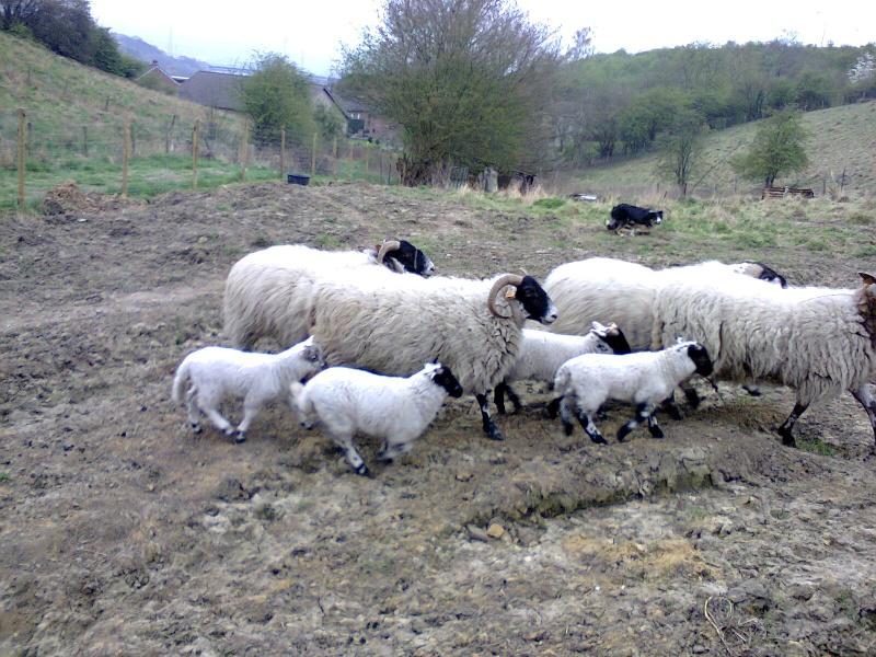 2 agneaux blackfaces Photo013