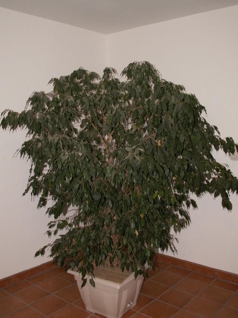 si nous parlions d'une plante d'intérieur: le ficus! - Page 2 Pict0810