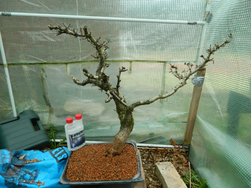 Collected English Oak (Quercus robur) 219