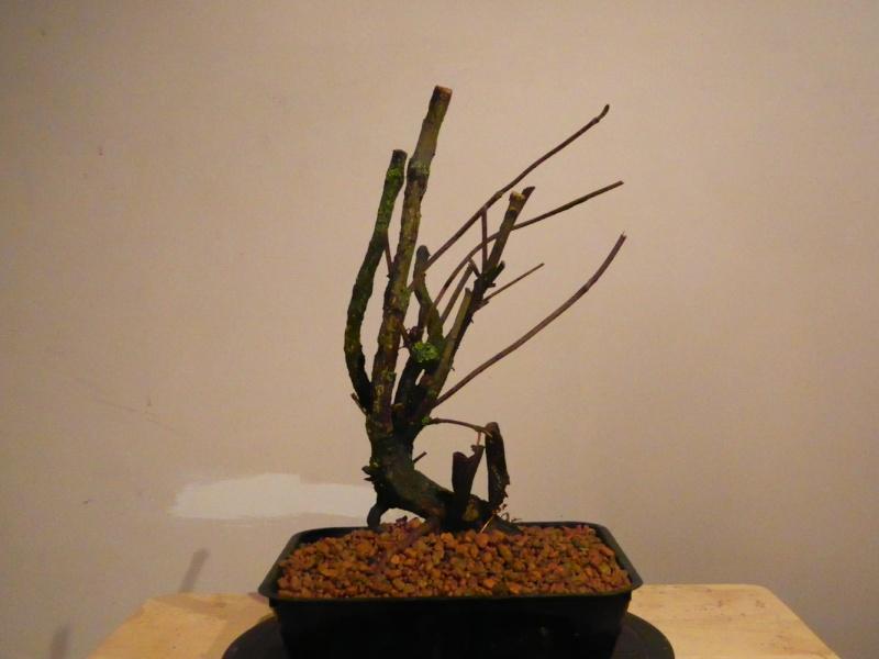 Collected Wild Cherry, Wild Rose, Honeysuckle, Hawthorn & Elm Dscn0249