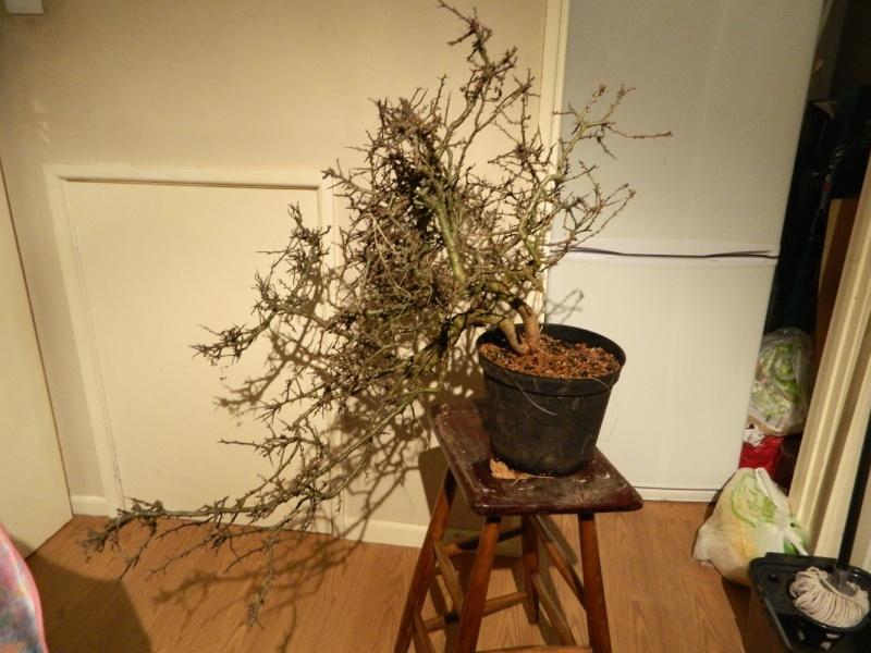 Collected Wild Cherry, Wild Rose, Honeysuckle, Hawthorn & Elm Dscn0250
