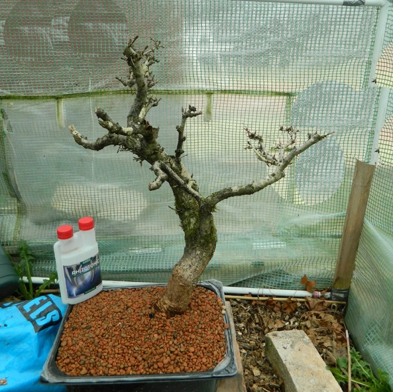 Collected English Oak (Quercus robur) Virt10