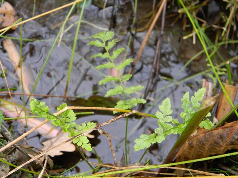 fougère de bord de ruisseau Dscn3711