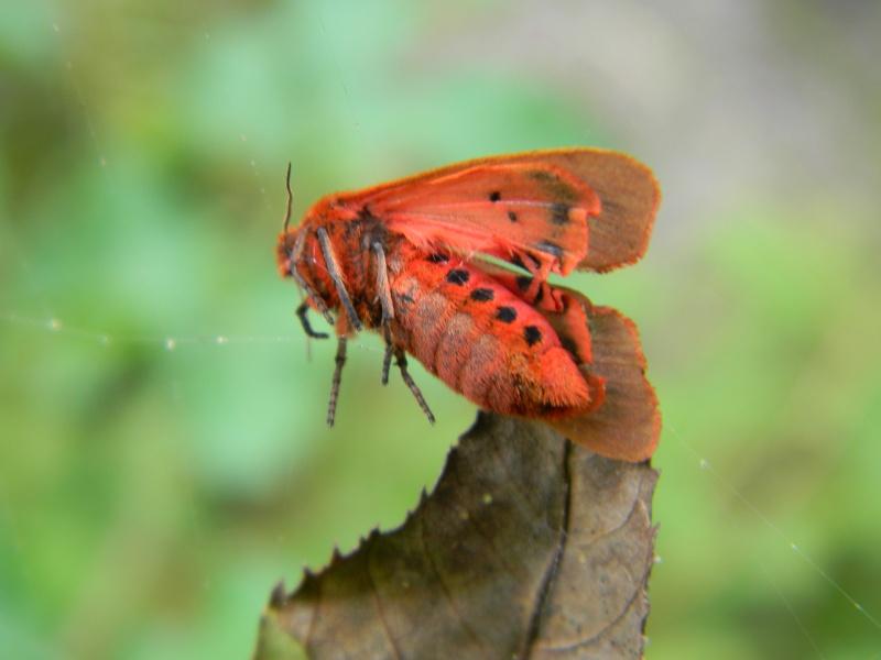 [Phragmatobia fuliginosa](Arctiidae)tout rouge Dscn5715