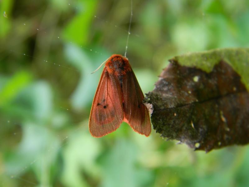 [Phragmatobia fuliginosa](Arctiidae)tout rouge Dscn5716