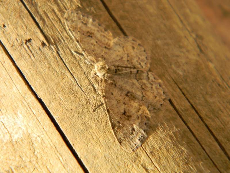 papillon de nuit, discret Dscn8010