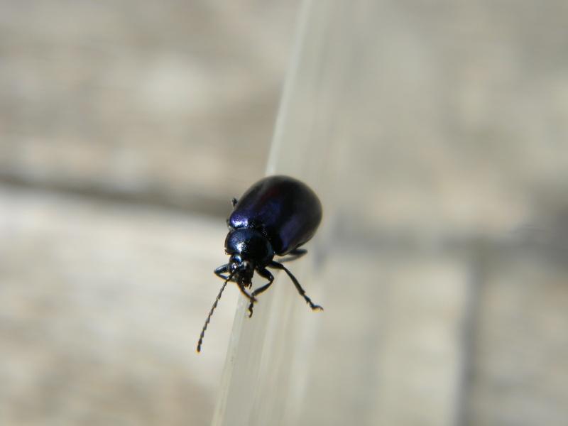 coléoptère bleu Dscn8712