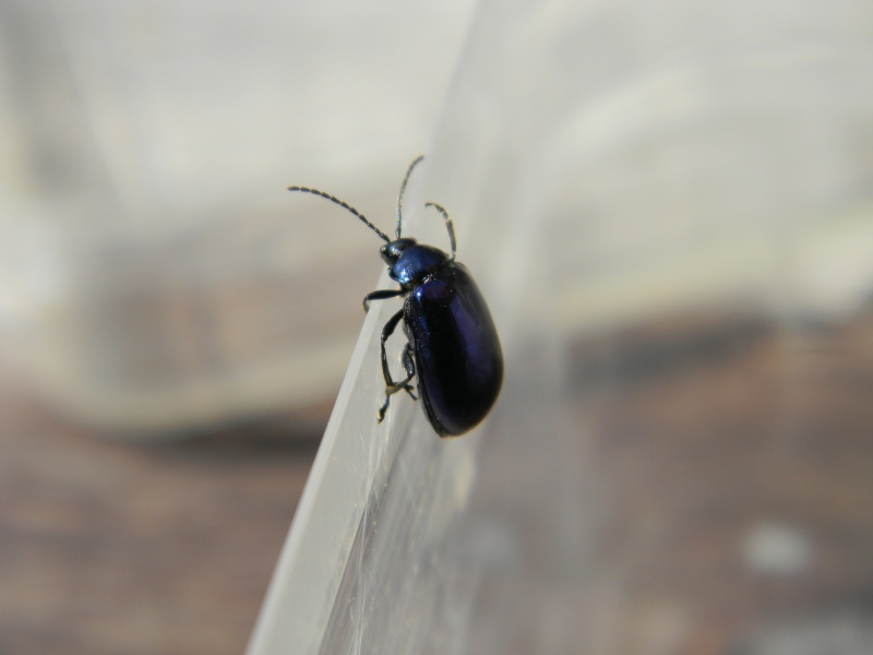 coléoptère bleu Dscn8810