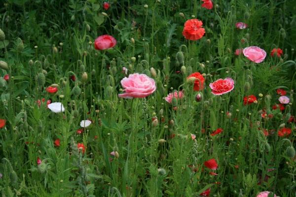 Floraisons du mois de juillet Img_0212