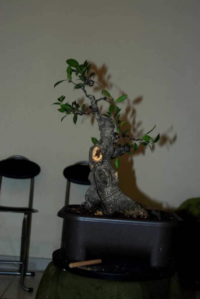Cosmetic surgery for a fat Ficus 110