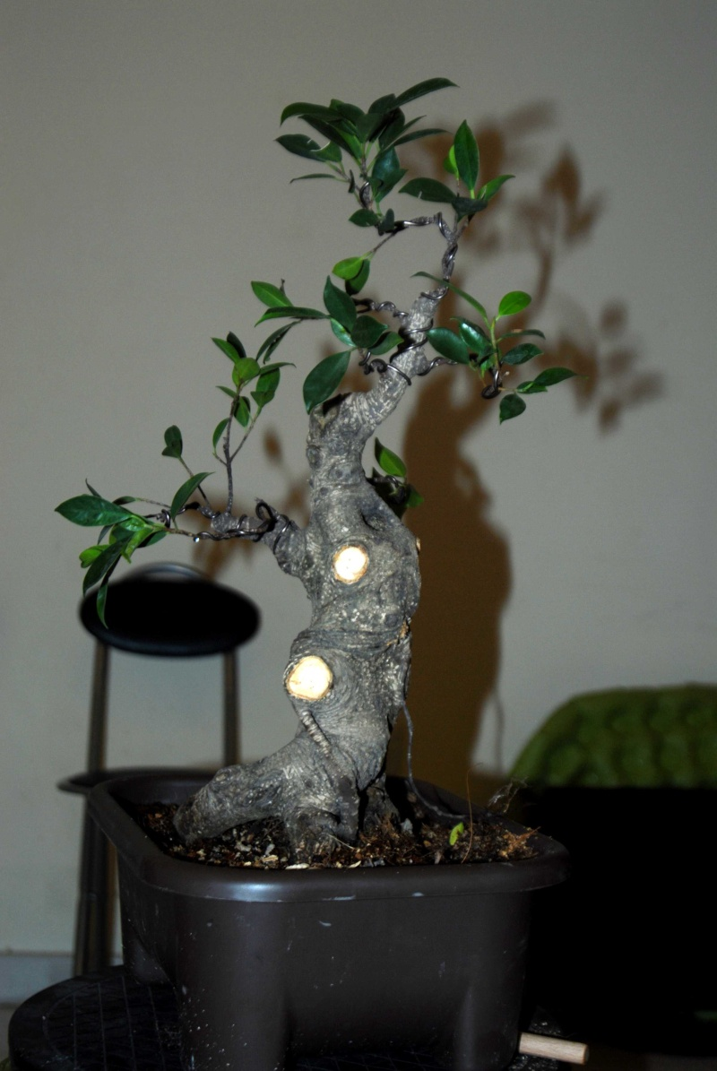 Cosmetic surgery for a fat Ficus 1_210