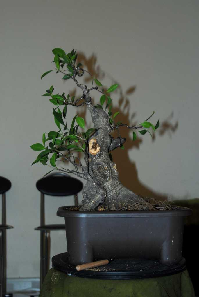 Cosmetic surgery for a fat Ficus 210