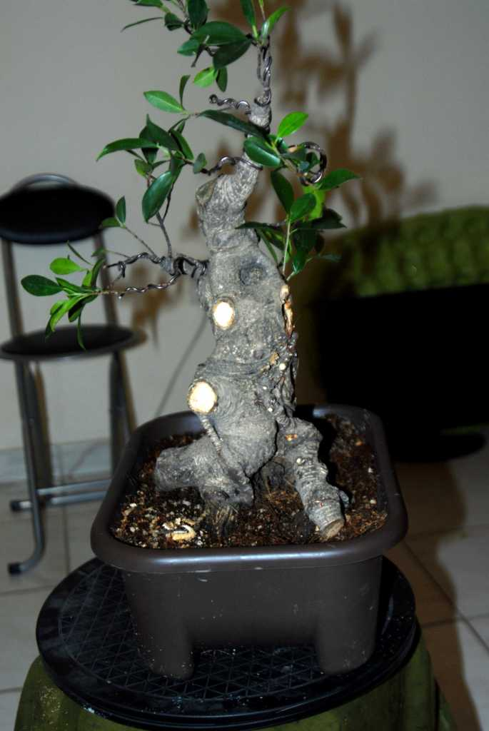 Cosmetic surgery for a fat Ficus 610