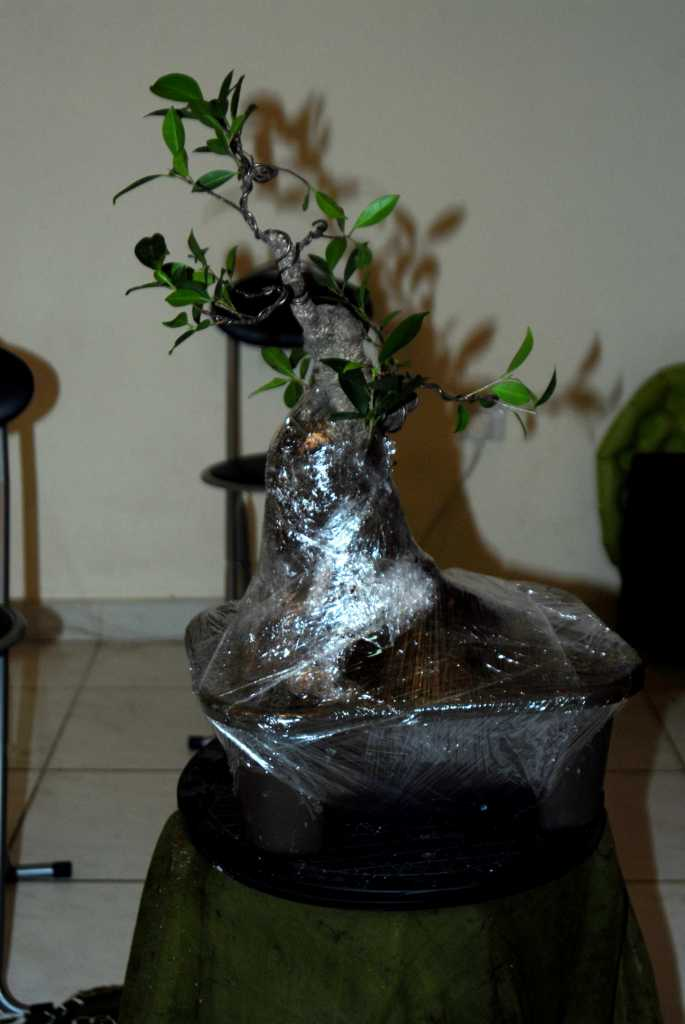 Cosmetic surgery for a fat Ficus 710