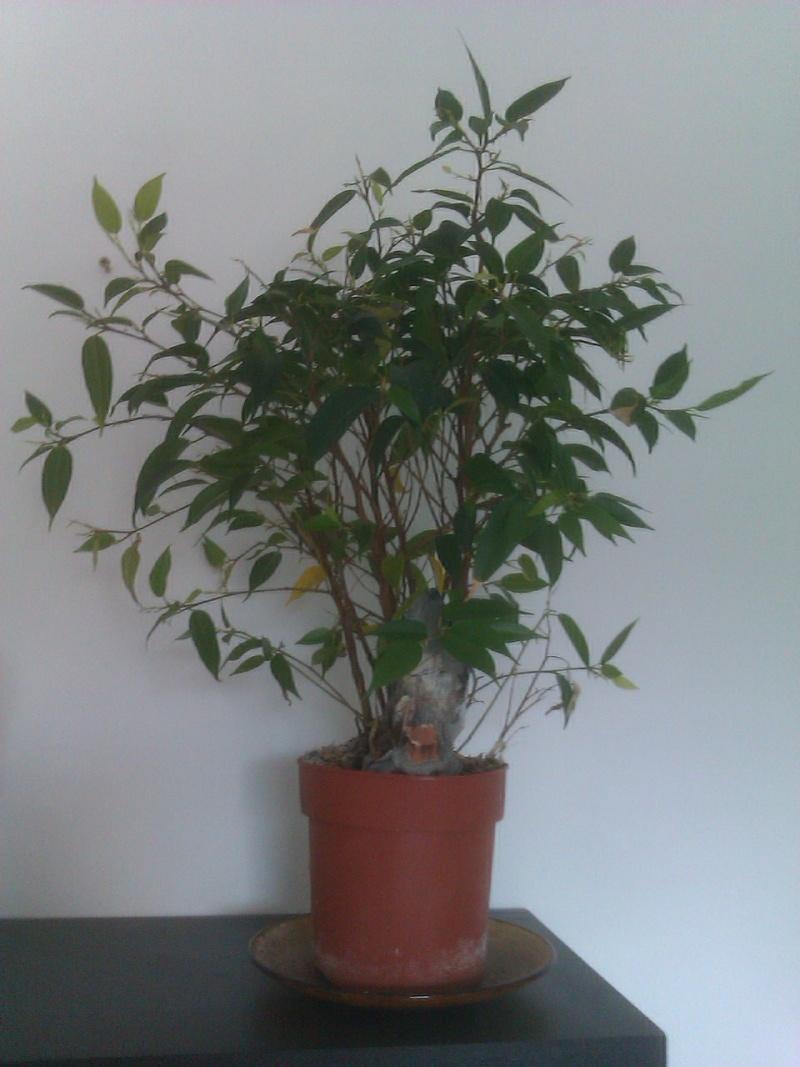 Ficus benjamina !!! Imag0513