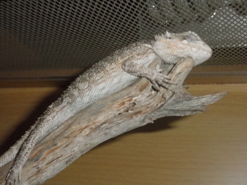 My Bearded dragon Pictur12